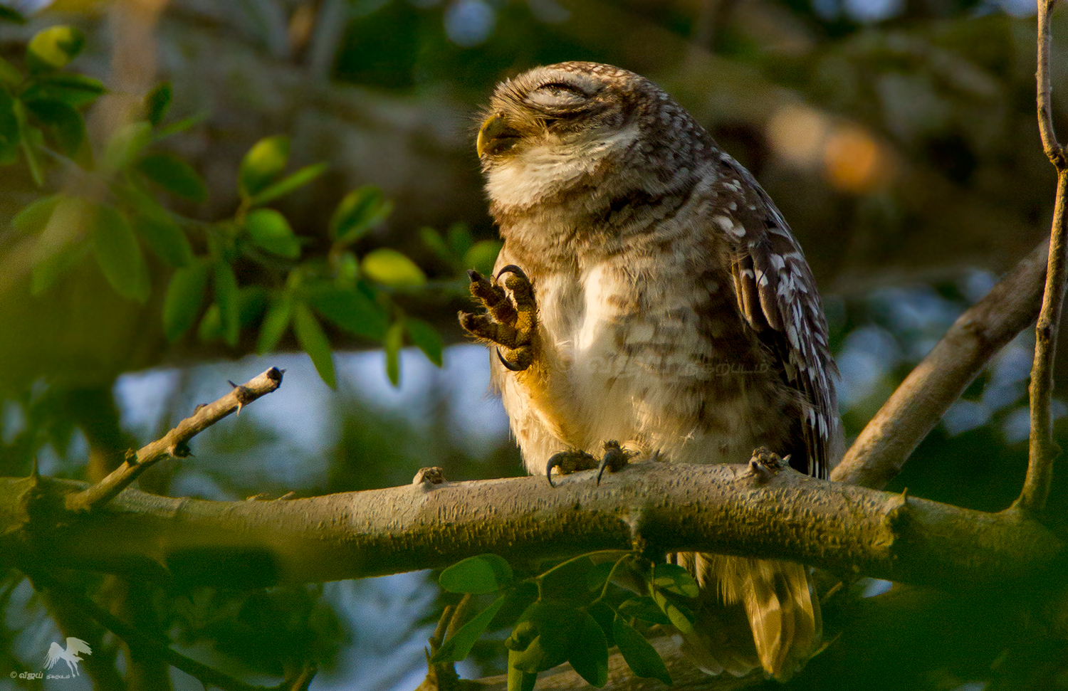 Spotted Owlet புள்ளி ஆந்தை Vedanthangal