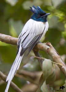 Indian Paradise Flycatcher (male) அரசவால் ஈபிடிப்பான் Bangalore