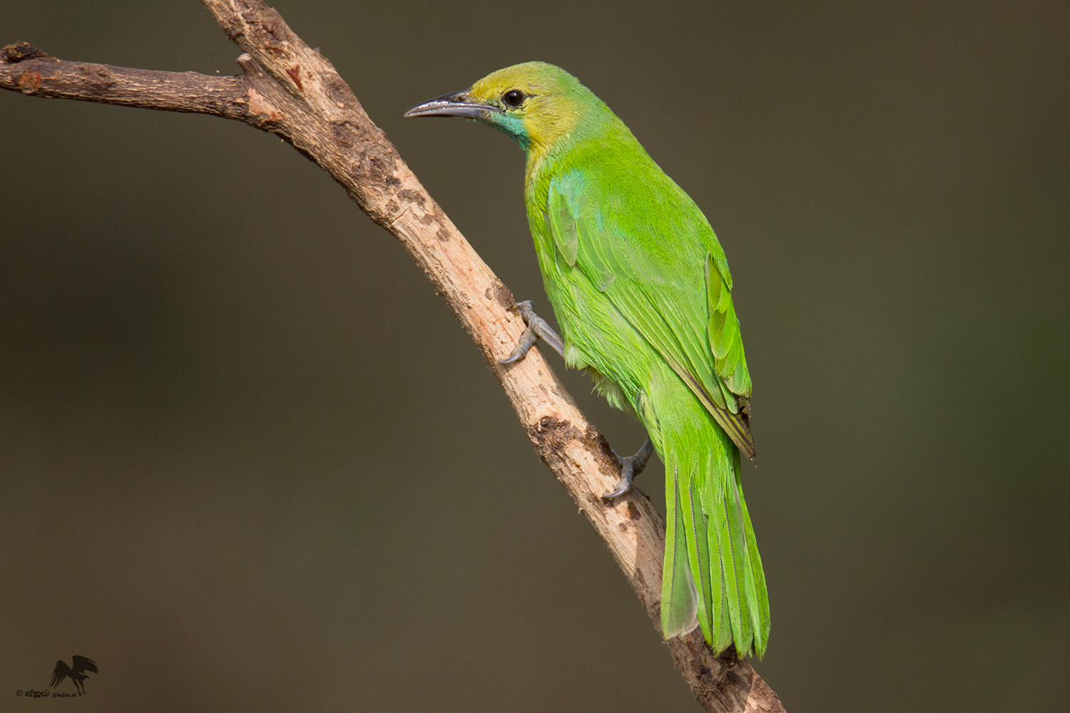 Jerdon's leafbird female Bangalore