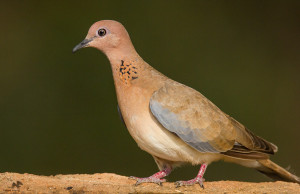 Laughing dove Bangalore