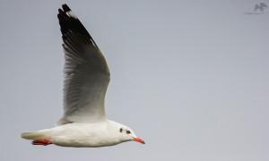 Brown-headed gull பழுப்புத் தலைக் கடல் காக்கை Kelambakkam