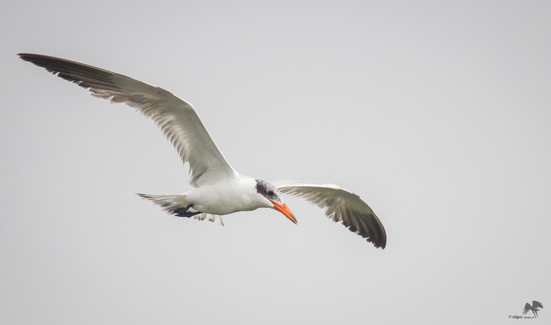 Caspian tern Chennai