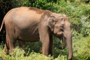 Asiatic elephant Masinagudi