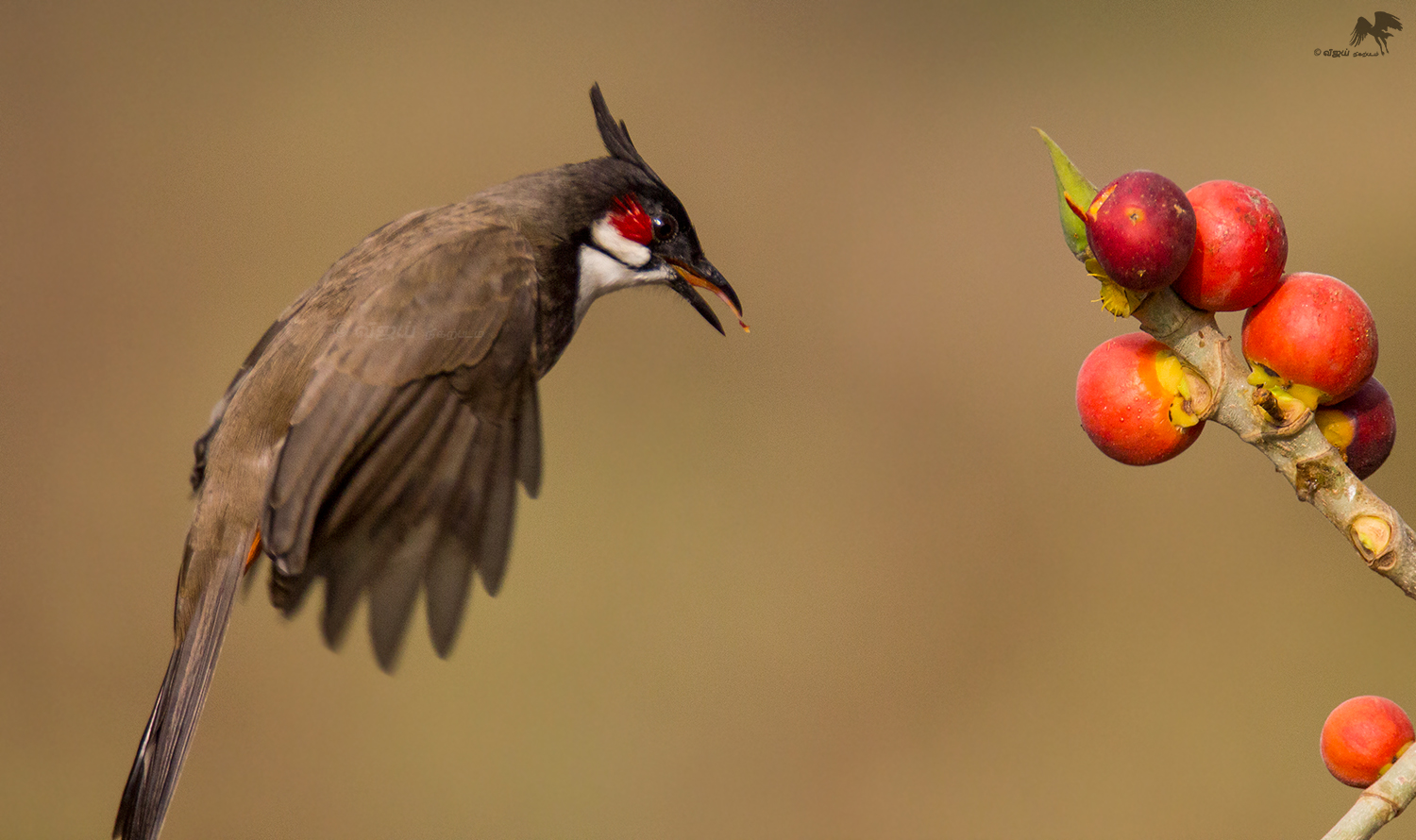 Red-whiskered Bulbul  செம்மீசைச் சின்னான்