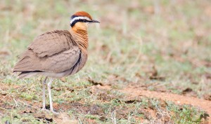 Indian courser கல் குருவி