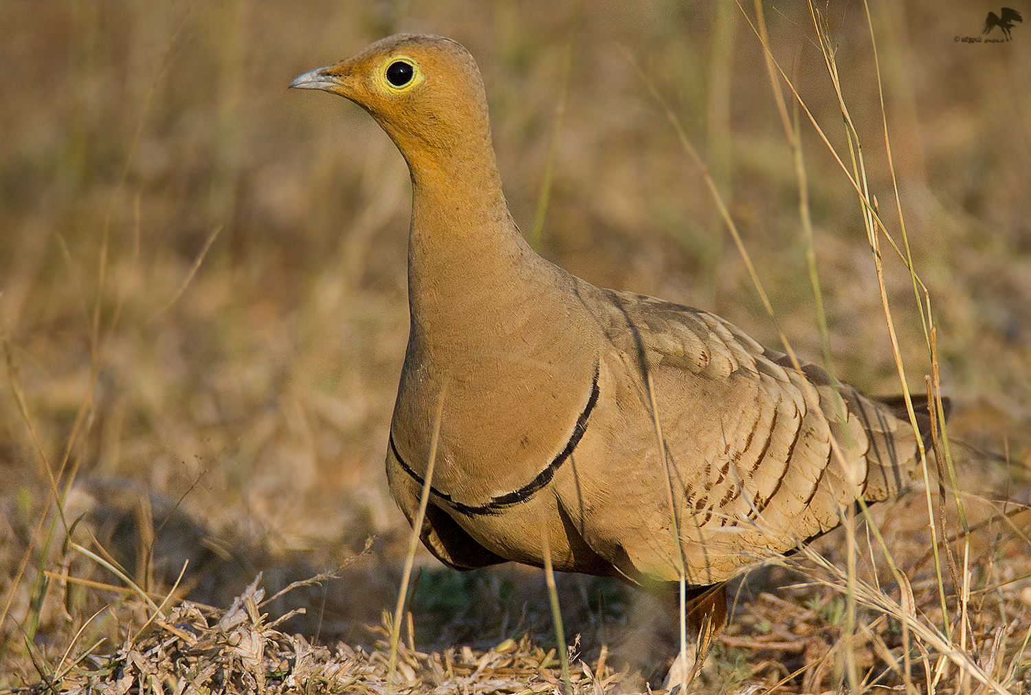 Chestnut-bellied sandgrouse (Male) கல் கவுதாரி
