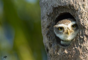 Spotted Owlet புள்ளி ஆந்தை