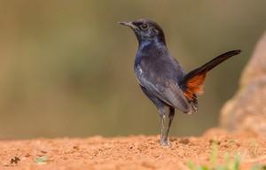 Indian Robin Male கருஞ்சிட்டு
