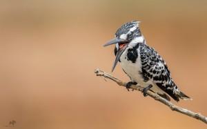 Pied kingfisher Female  கரும்புள்ளி மீன்கொத்தி