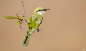 Green Bee-eater  பச்சைப் பஞ்சுருட்டான்