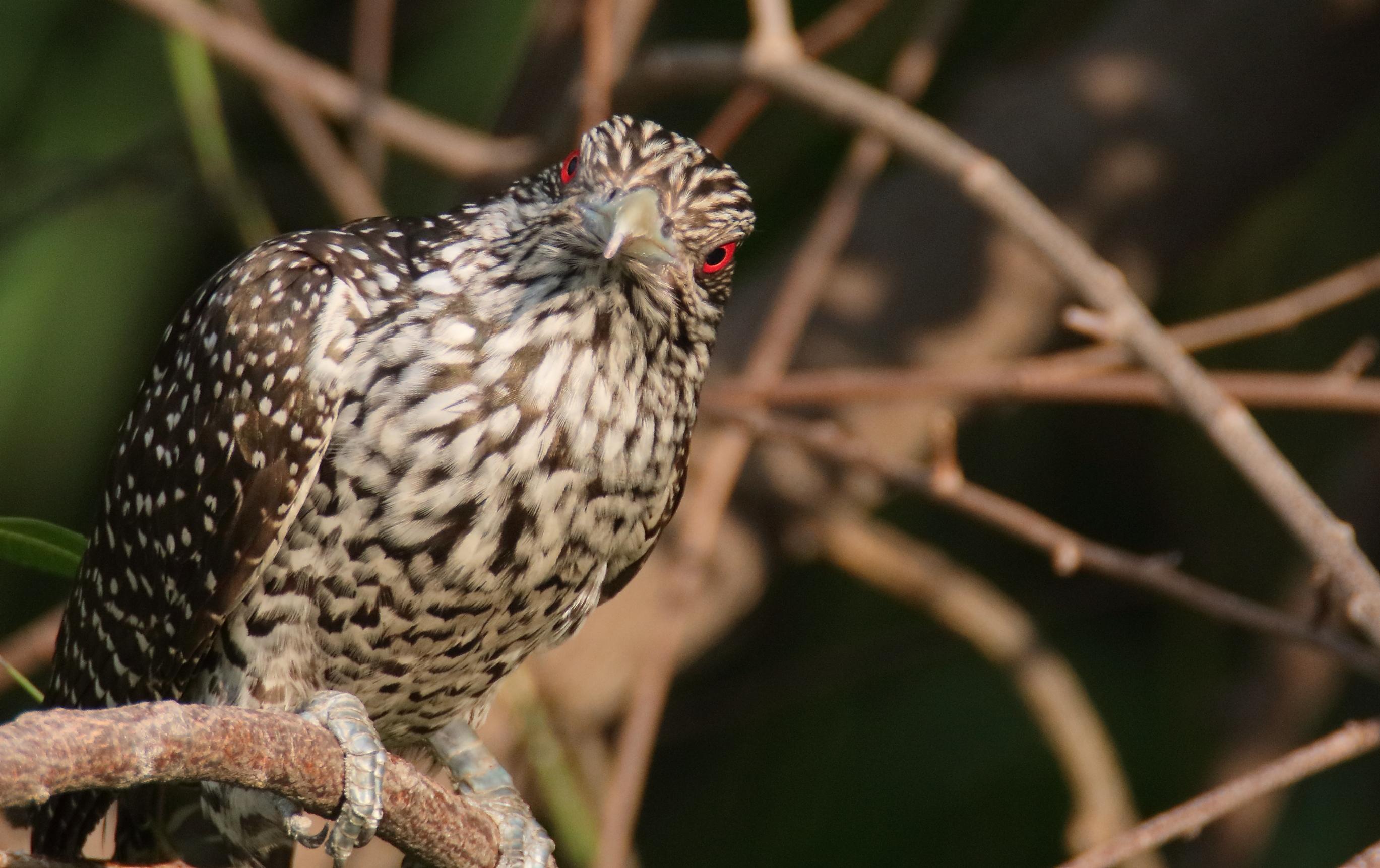 Asian Koel Female - குயில்