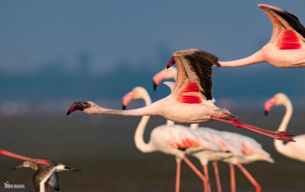Lesser Flamingo சிறிய பூநாரை