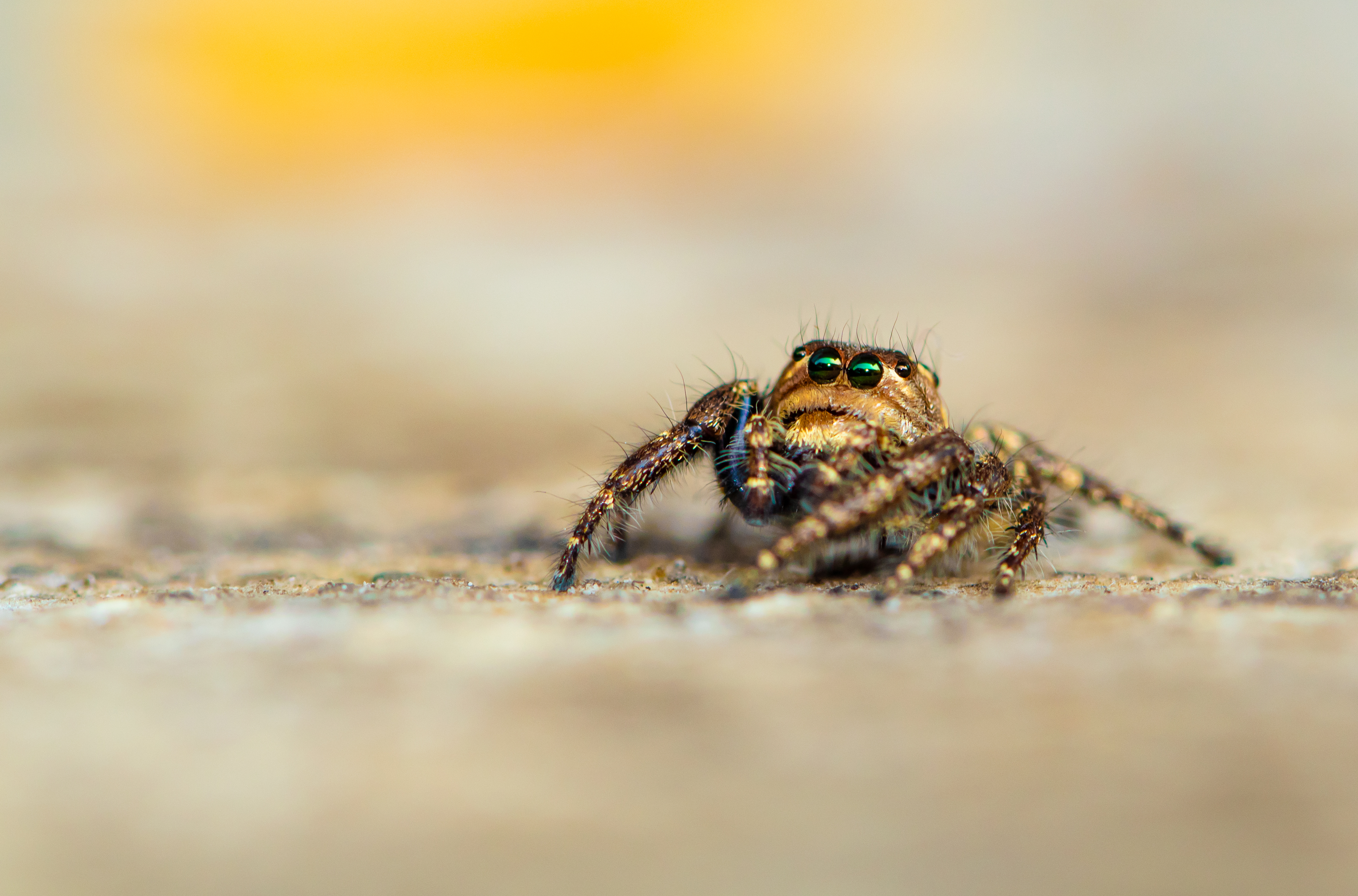 Hyllus male Jumping spider|macro |Canon gears
