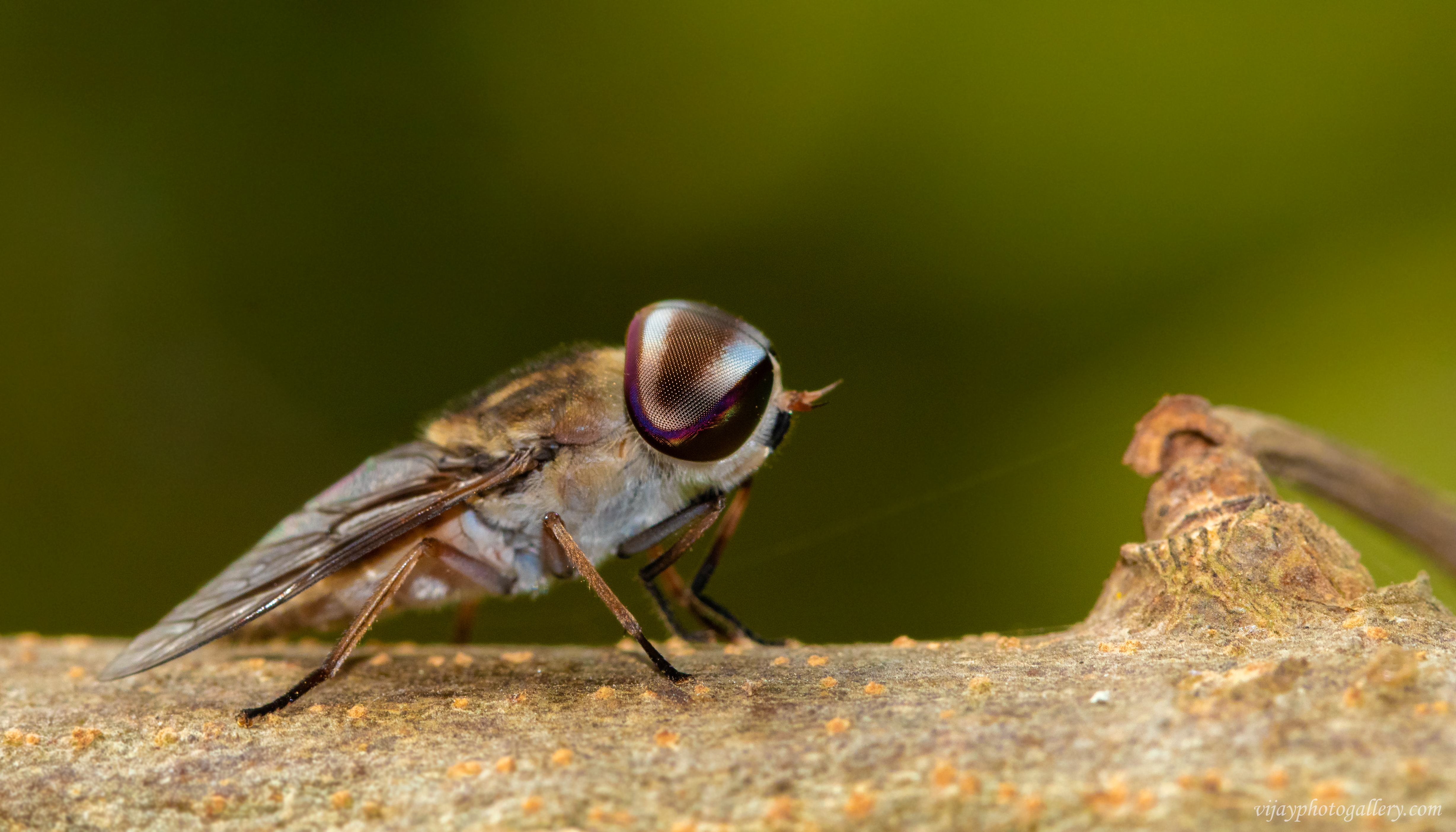 Tabanus striatus | Horse-flies or horseflies