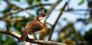 Red-whiskered Bulbul - செம்மீசைச் சின்னான்