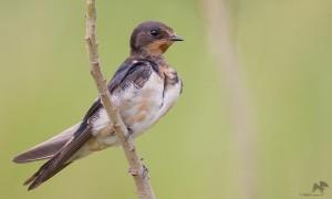 Barn Swallow  தகைவிலான்