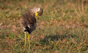 Yellow-wattled Lapwing மஞ்சள் மூக்கு ஆள்காட்டி