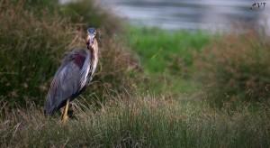 Purple Heron -செந்நாரை