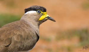 Yellow-wattled Lapwing closeup